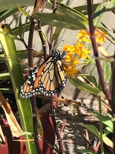 monarch_gardenbutterfly